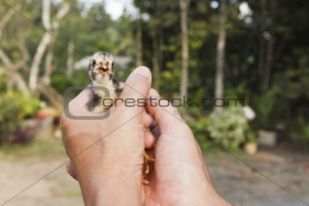 Baby chick in the hands