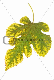 leaf from the mulberry