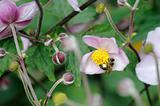 Honeybee on Japanese anemone flower