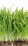 Closeup of wheatgrass on white