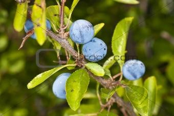 Blackthorn, Prunus spinosus