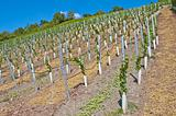 vineyard with young plants