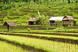 rice field in bali indonesia