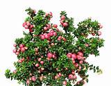 Christmas evergreen Pernettya plant