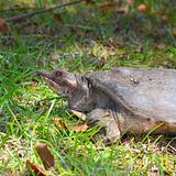 Florida Softshell Turtle (Apalone ferox)