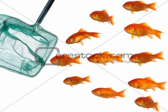 Goldfish and net