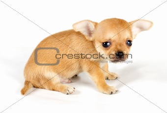 cute small chihuahua puppy sitting on white looking at camera