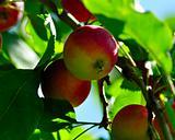apple tree close up sunny day.