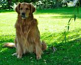 Golden retriever dog in park.