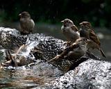 Birds taking bath in sunset.