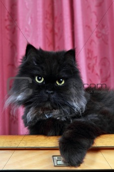 Black Persian cat posing