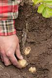 One person harvesting first early potatoes (Swift)