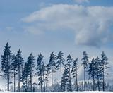 Pine rees in winter