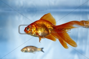 A goldfish in a tank with a feeder fish in the background