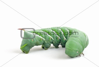 Tobacco Hornworm (Manduca Sexta) on a white background.