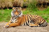 Tiger portrait horizontal