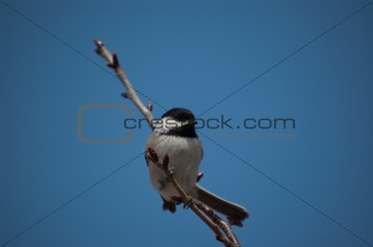 Black-Capped Chickadee Sitting on a Branch