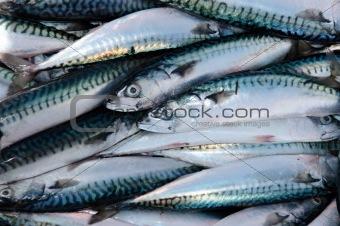 fishermans catch of mackerel
