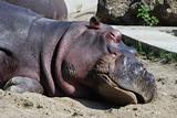 hippo sleeps
