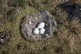 Barnacle goose nest with eggs in Arctic tundra, Spitsbergen, Svalbard
