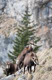 Mountain goats (chamois) in natural environment