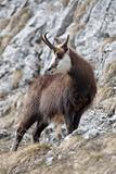 Mountain goat (chamois) in natural habitat