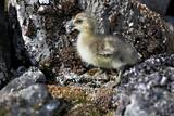 Barnacle goose chick - Spitsbergen, Svalbard