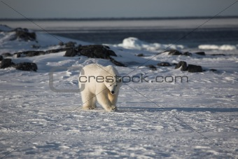 Polar bear (ursus maritimus) - the King of the Arctic