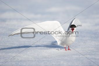 Wild Arctic tern in natural environment
