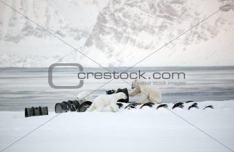 Polar bears playing with barrels - Svalbard