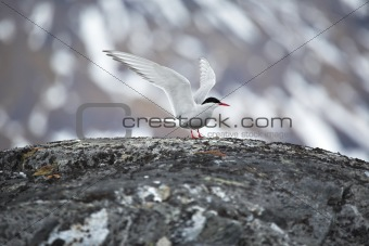 Arctic tern in natural Arctic habitat