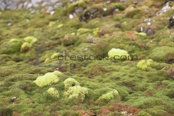 Green Arctic tundra in the summer