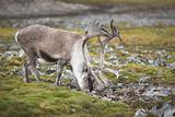 Wild reindeer in green tundra