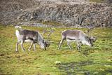 Herd of reindeers in the Arctic