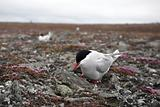 Wild Arctic tern on the nest