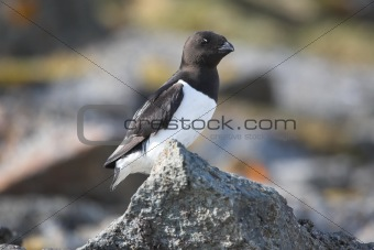 Little auk sitting on the rock