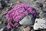 Arctic tundra flowers (purple saxifraga)
