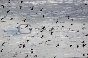 Little auks (alle alle) in natural Arctic habitat