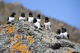 Little auks (alle alle) in natural Arctic habitat
