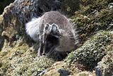Arctic fox in natural habitat - Arctic, Svalbard
