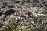 Arctic fox hunting for a bird - Arctic, Svalbard