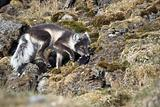 Arctic fox hunting for birds - Arctic, Svalbard