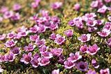 Arctic tundra flowers (purple saxifraga)