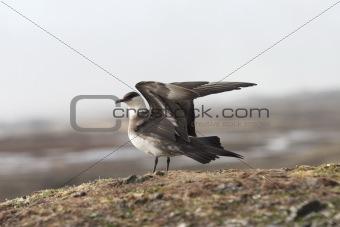 Skua - Arctic bird