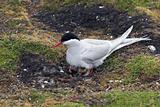 Wild Arctic tern on the nest
