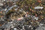 Arctic tern chick in the nest - Spitsbergen