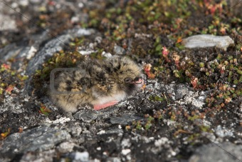 Arctic tern chick in the nest - Spitsbergen