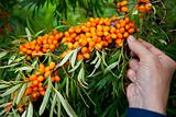 Picking sea-buckthorn berries