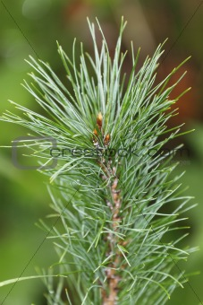 Siberian pine