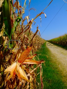 campo di pannocchie, corn, granoturco